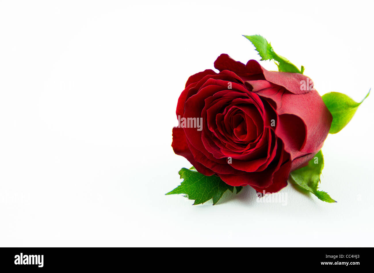 Anglais floral rose rouge Photo Stock