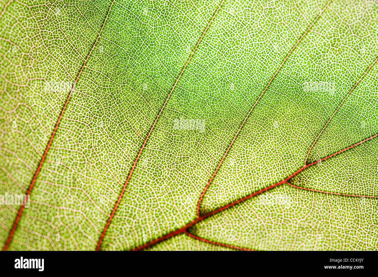Texture de la feuille verte Photo Stock