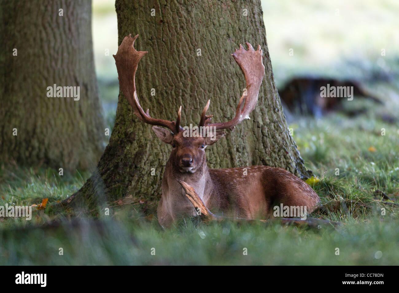 Le daim (Dama dama), Buck se reposant dans le bois, Deer Park Royal, Silkeborg, Danemark, copenhague, Danemark-du Photo Stock