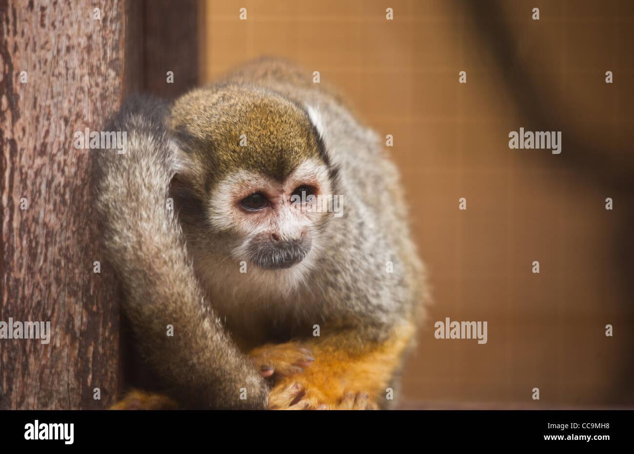 Triste à la singe écureuil en captivité dans un zoo Banque D'Images
