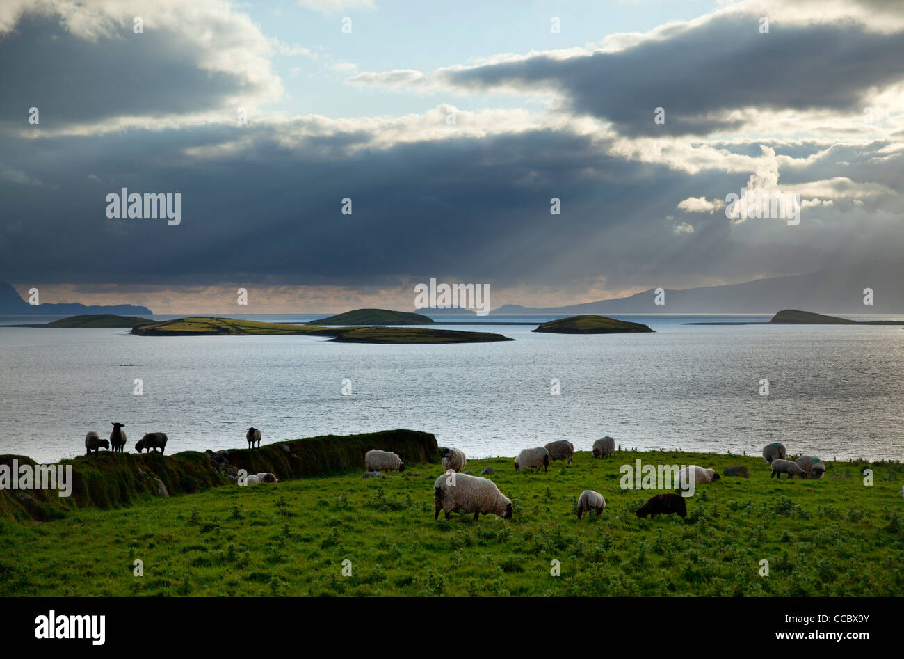 Des moutons paissant à côté de Clew Bay, comté de Mayo, Irlande. Photo Stock