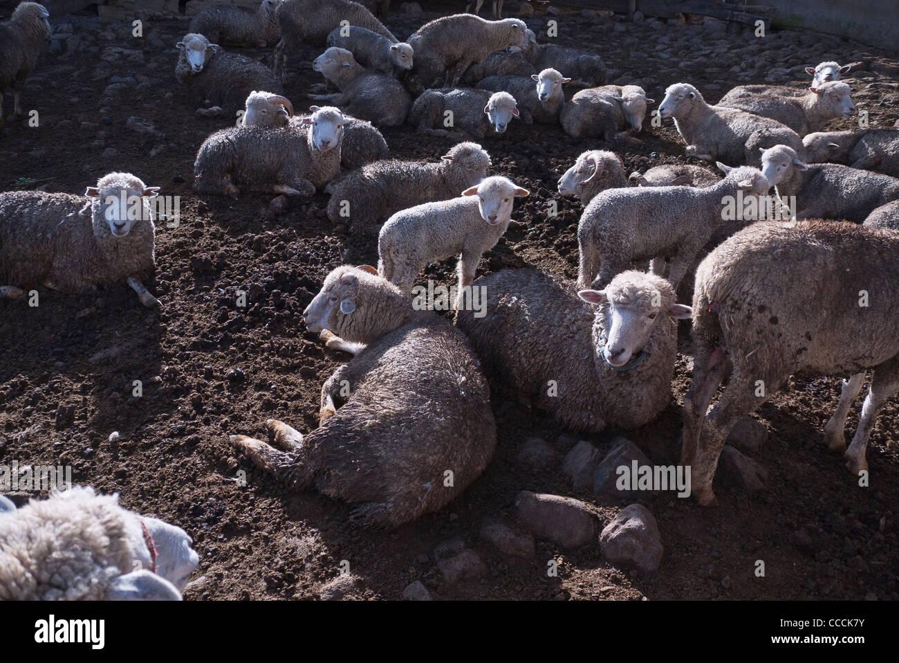 Un troupeau de moutons dans un enclos sur La Posada de Tigua dans matin rim lumière créant un intéressant Photo Stock
