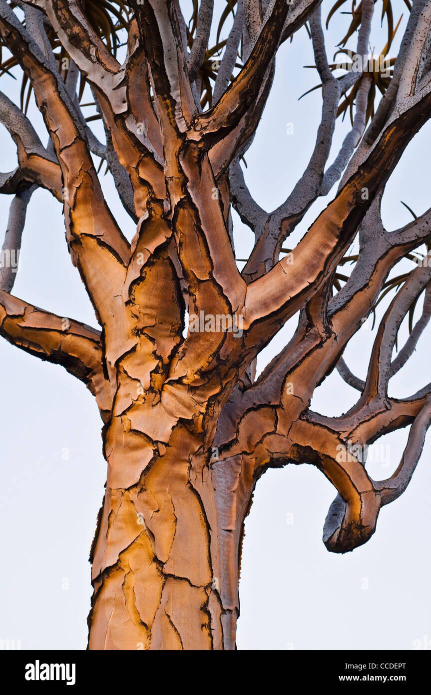Quiver Tree / Kokerboom (Aloe dichotoma) au coucher du soleil, la Namibie Photo Stock