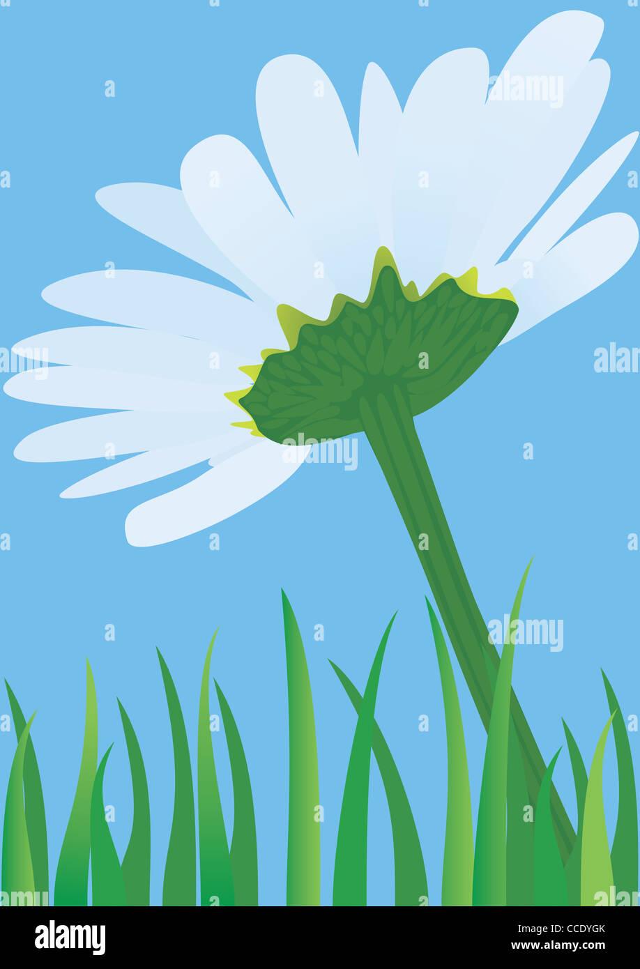 Fleur de camomille contre. Photo Stock