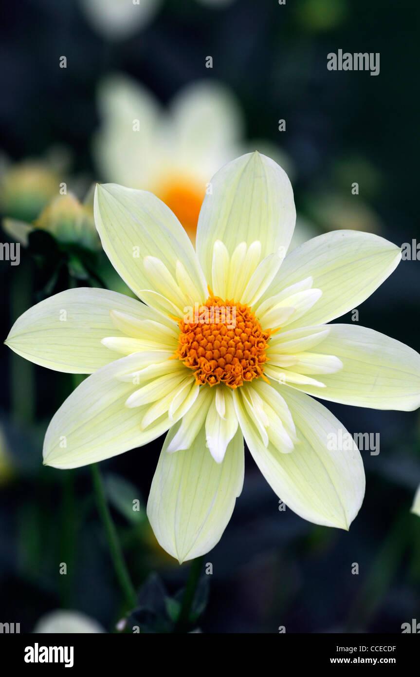 Dahlia Clair De Lune Creme Blanche Fleur Jaune Fleur Plante Fleurs