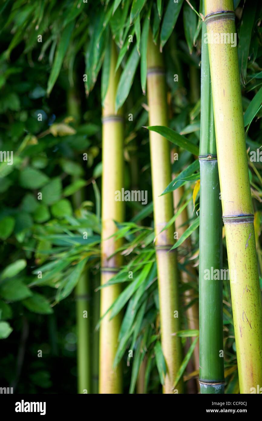 for t de bambou zen fond vert banque d 39 images photo stock 42126242 alamy. Black Bedroom Furniture Sets. Home Design Ideas