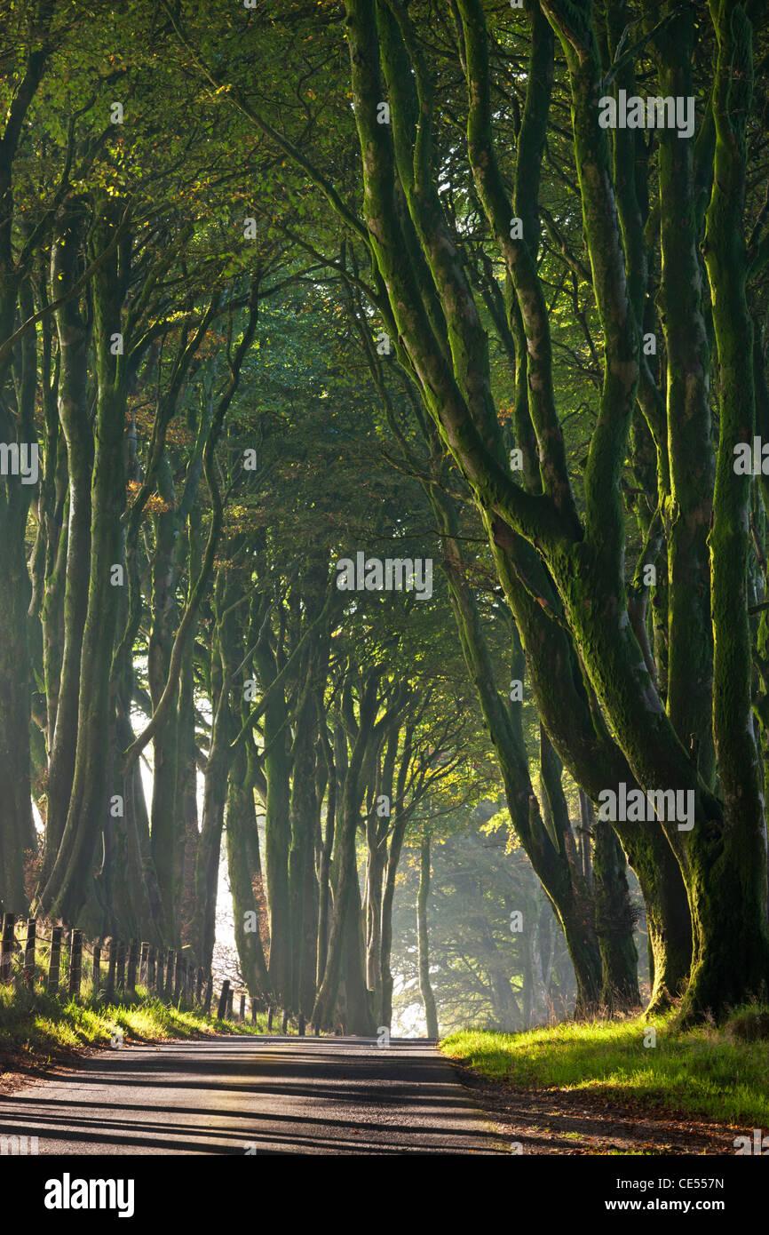 Arbre majestueux bordée lane sur un matin brumeux dans le Dartmoor, dans le Devon, Angleterre. L'automne Photo Stock