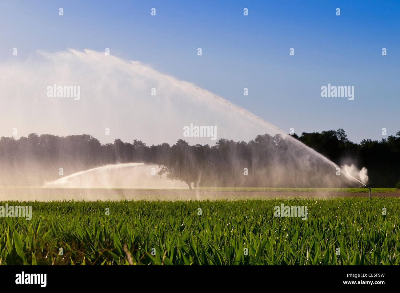 L'arrosage des maïs dans la Limagne, Auvergne, France Banque D'Images