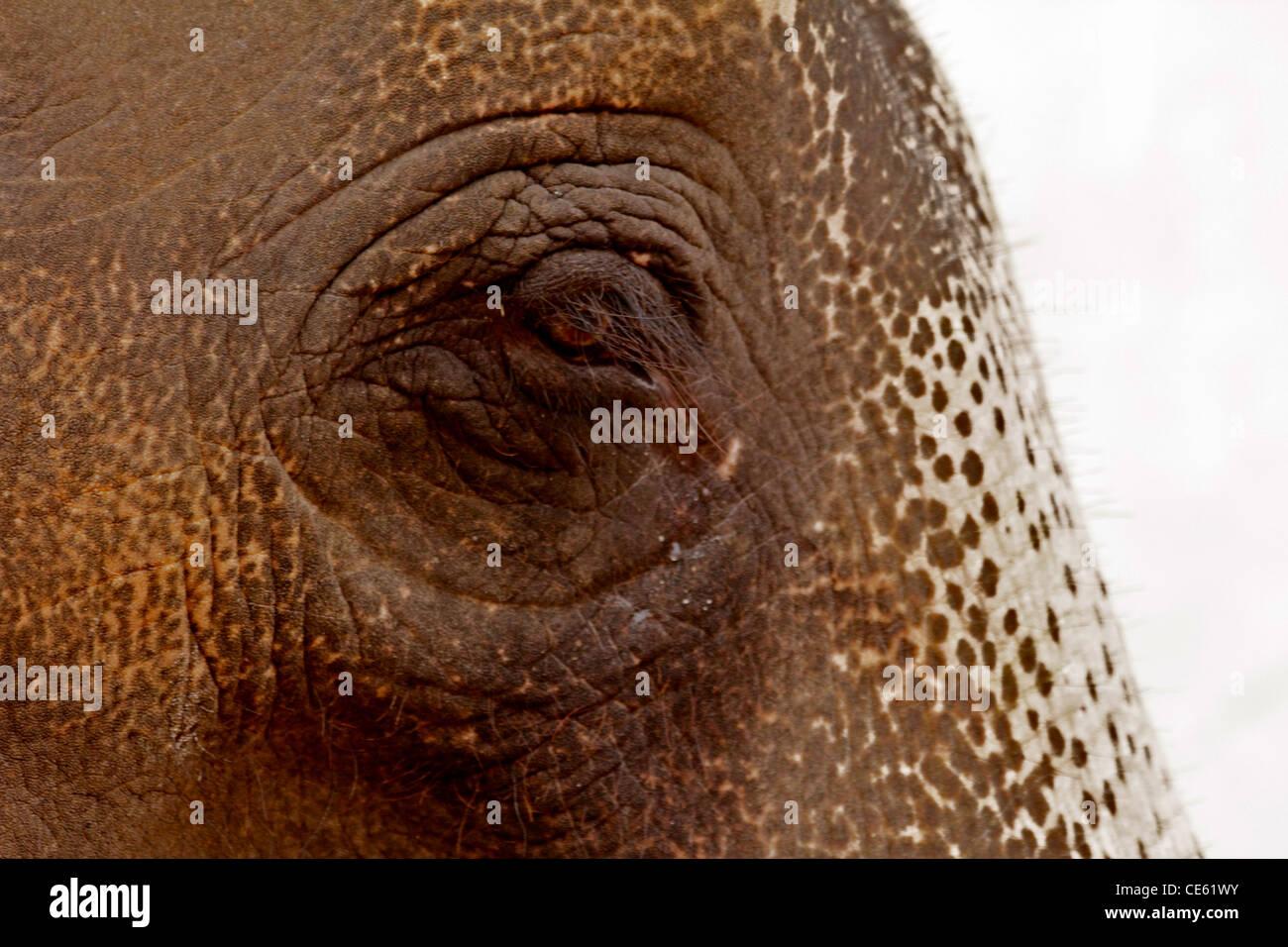 Close up of an Indian elephant's eye, à Jaipur, Inde Banque D'Images