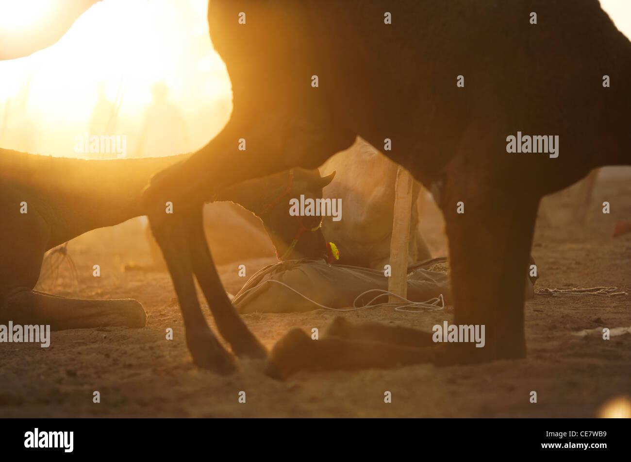 Un chameau foire annuelle à Pushkar Rajasthan, Inde. Banque D'Images