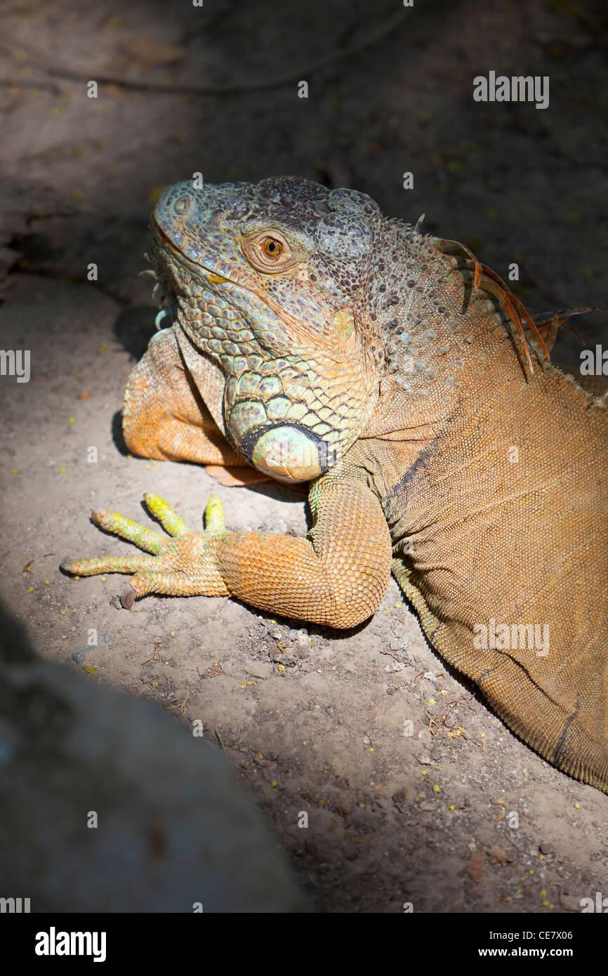 Ou vert iguane commun (Iguana iguana), Thaïlande Banque D'Images