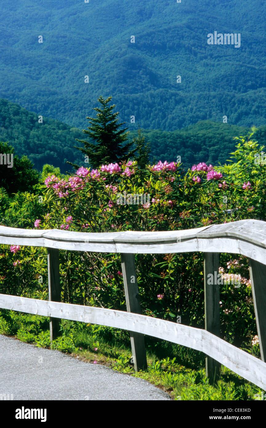 Le Blue Ridge Parkway à Jackson Co., NC, à Waterrock, bouton MP 451. Chemin pavé mène au sommet, bordée de rhododendrons Banque D'Images