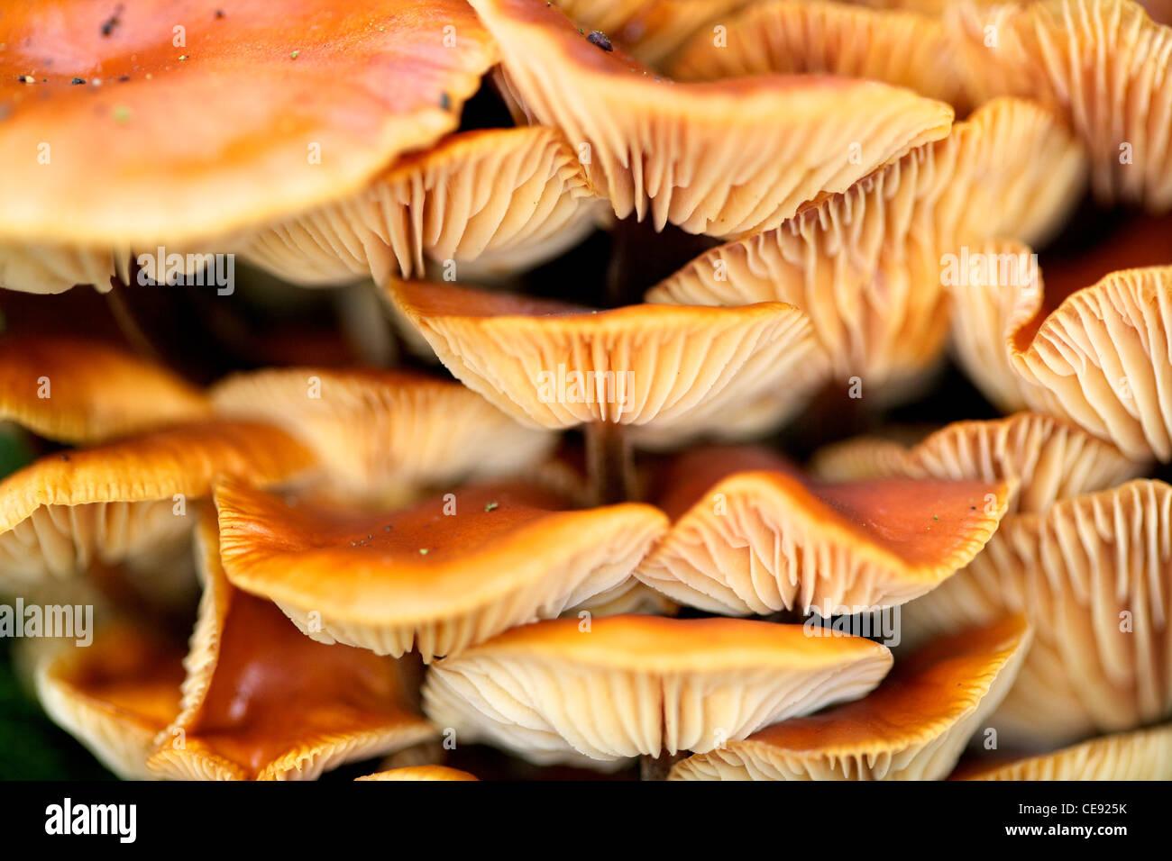 Champignon Armillaria mellea miel sur tronc d'arbre Photo Stock
