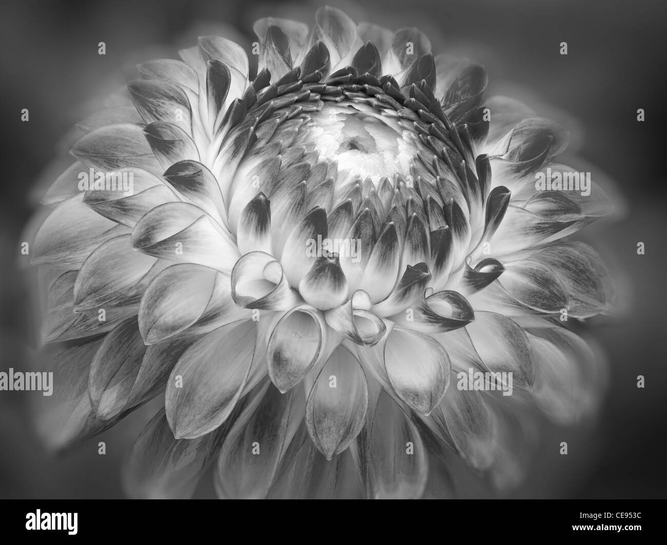 Close up of Dahlia variété Jardin d'essai. Oregon Photo Stock