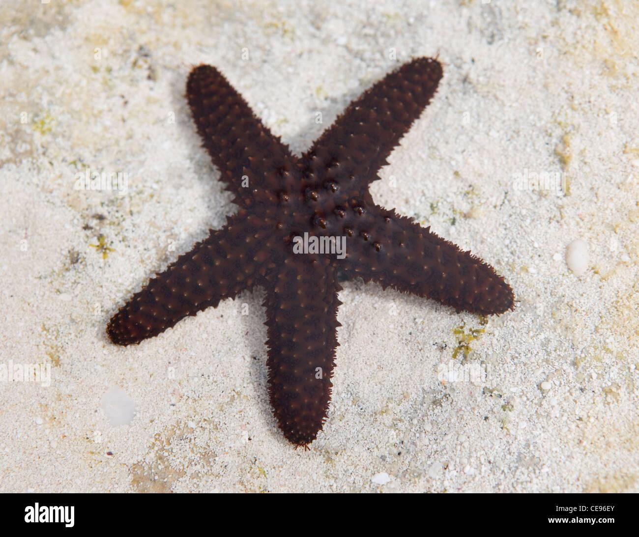 Une étoile de mer épineuse dans les eaux de marée dans les Bahamas. Photo Stock