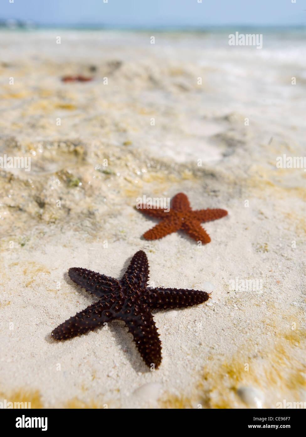 Une étoile de mer épineuse rouge dans les eaux de marée dans les Bahamas. Photo Stock