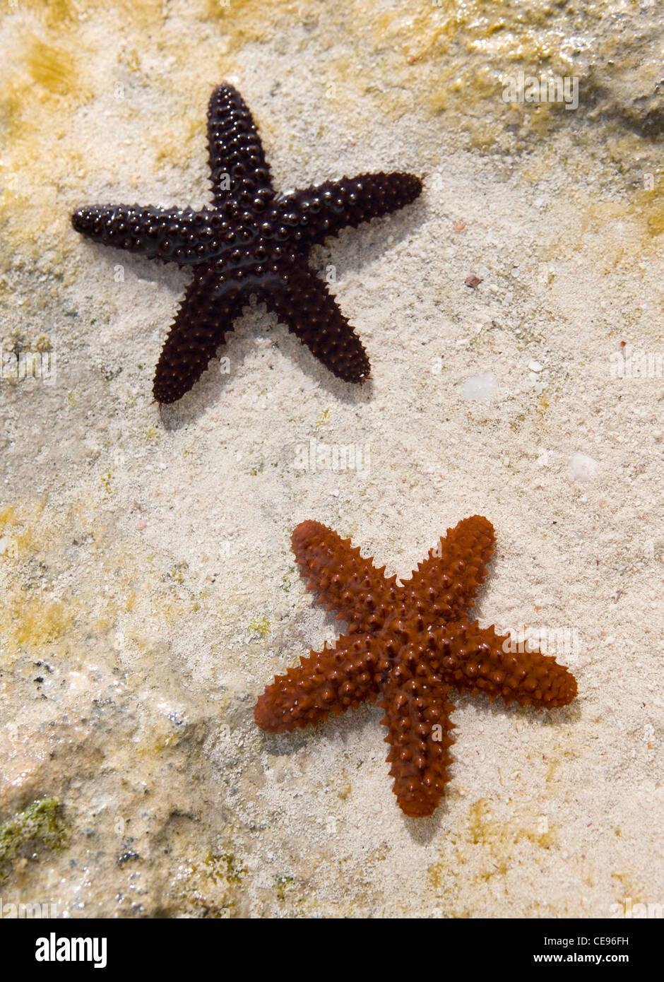 Une étoile de mer épineuse rouge et noir dans les eaux de marée dans les Bahamas. Photo Stock