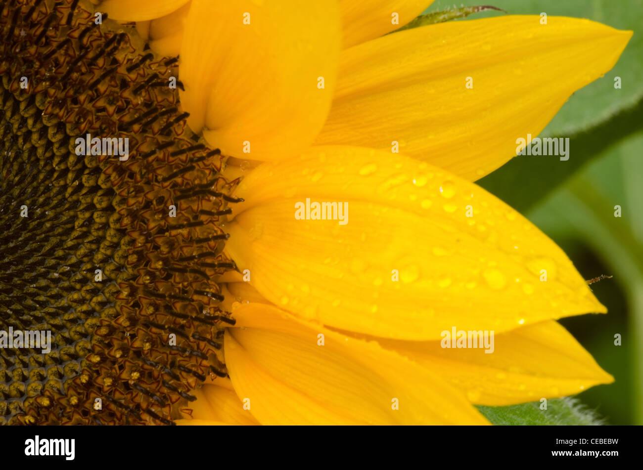 Détail d'une partie d'une fleur de soleil par temps humide Photo Stock