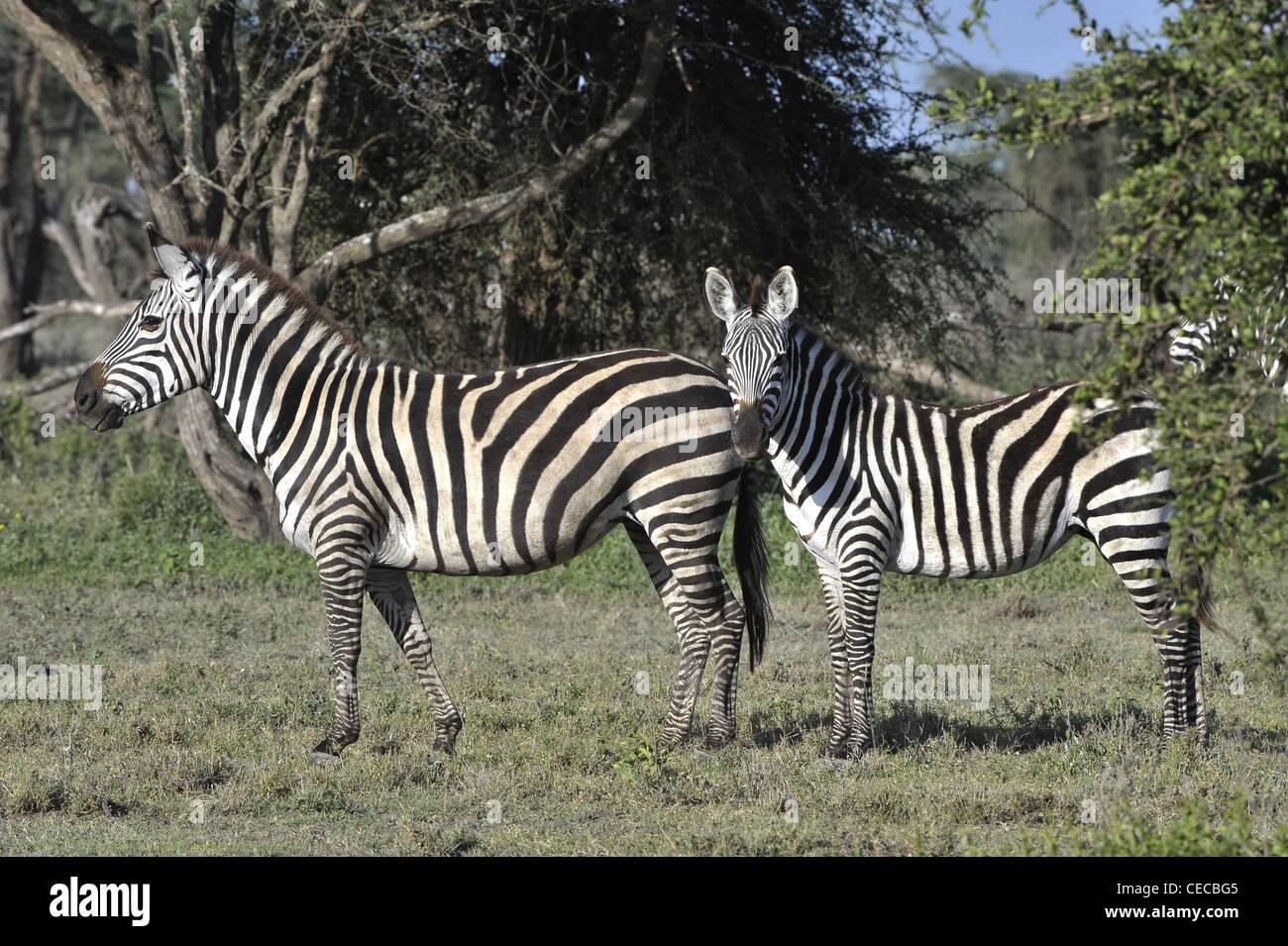 Les zèbres sauvages en Afrique. Serengeti. Banque D'Images