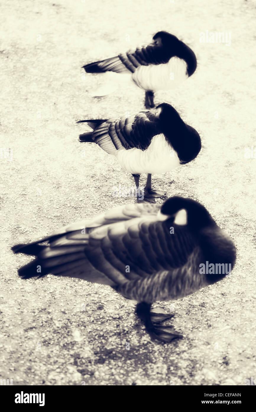 Trois canards de couchage Photo Stock