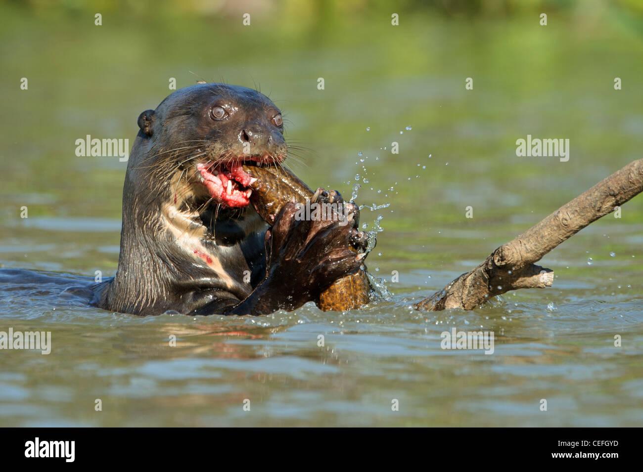 Un géant de la loutre de rivière sauvage à se nourrir de poissons Banque D'Images