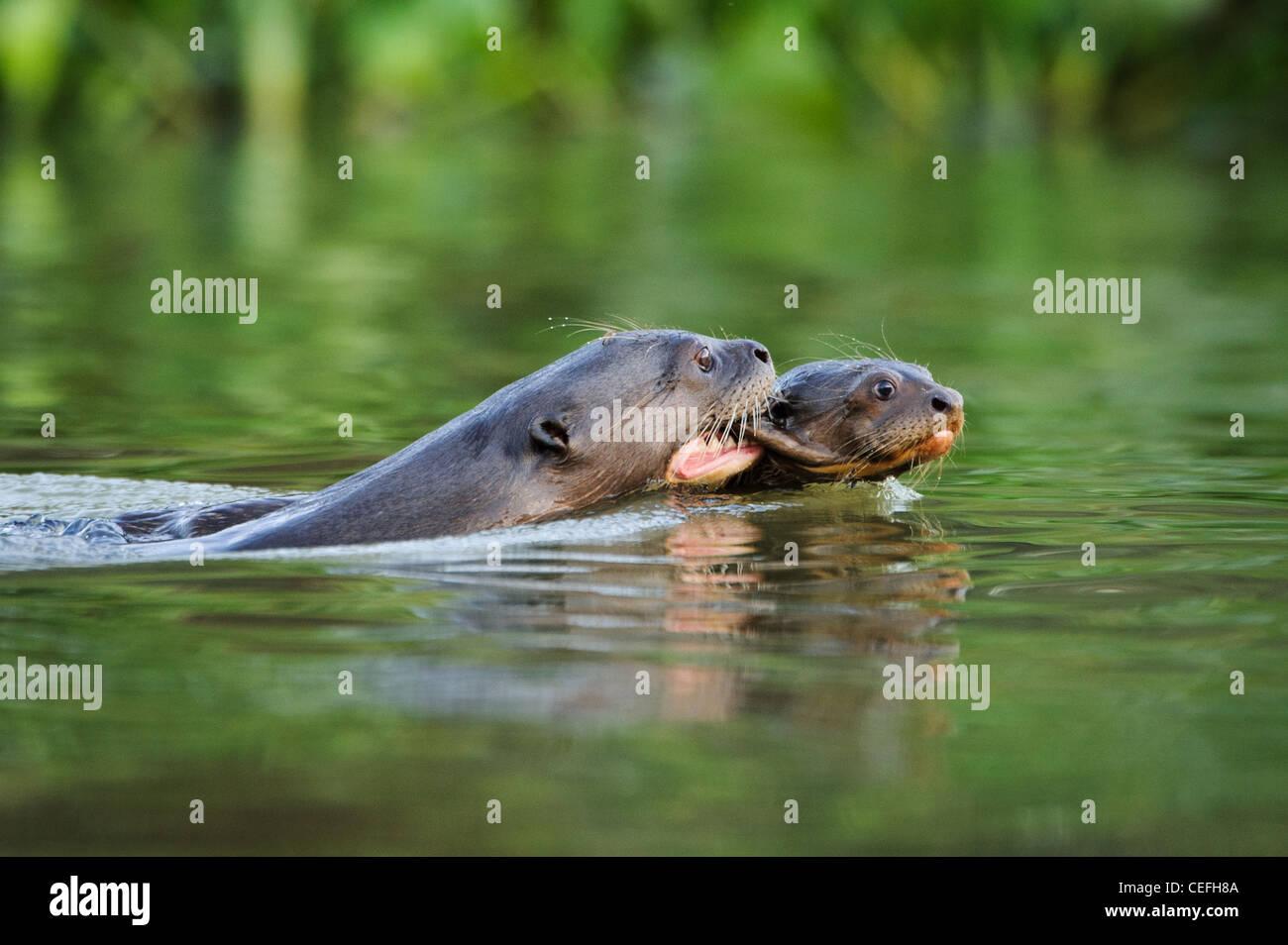 Une loutre de rivière géant portant un bébé pendant que la natation Banque D'Images