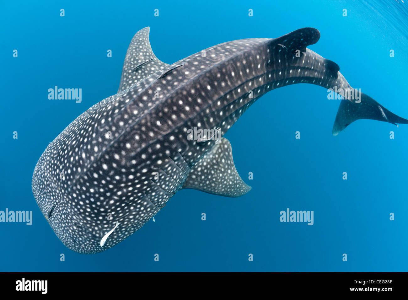 Rhincodon typus, North Male Atoll, Maldives, océan Indien Banque D'Images