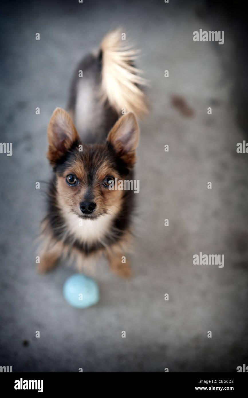 Petit chien à la recherche jusqu'à blue ball Photo Stock