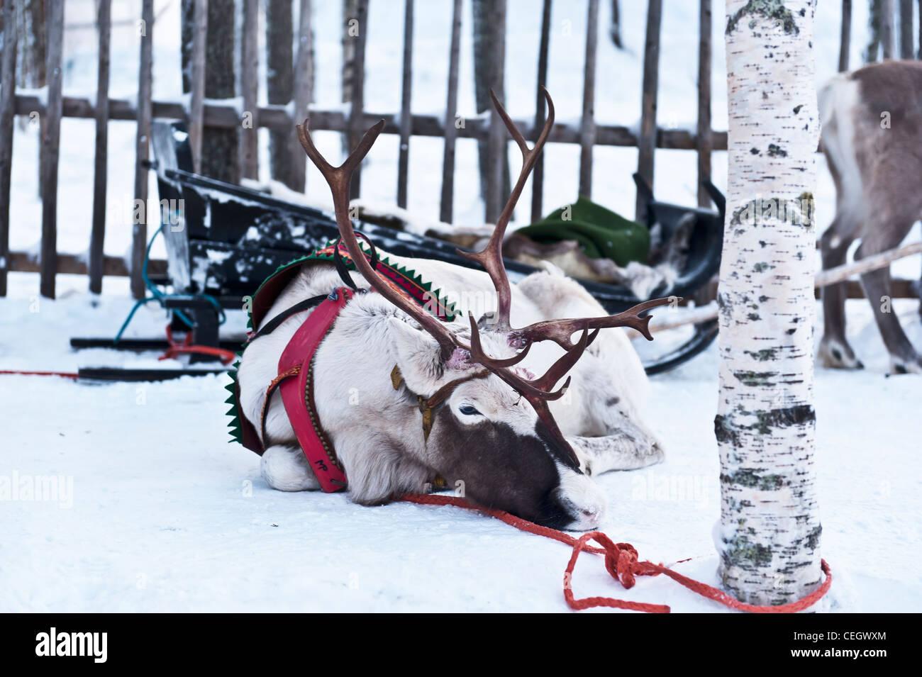 Image avec un renne blanc attaché à un arbre Banque D'Images