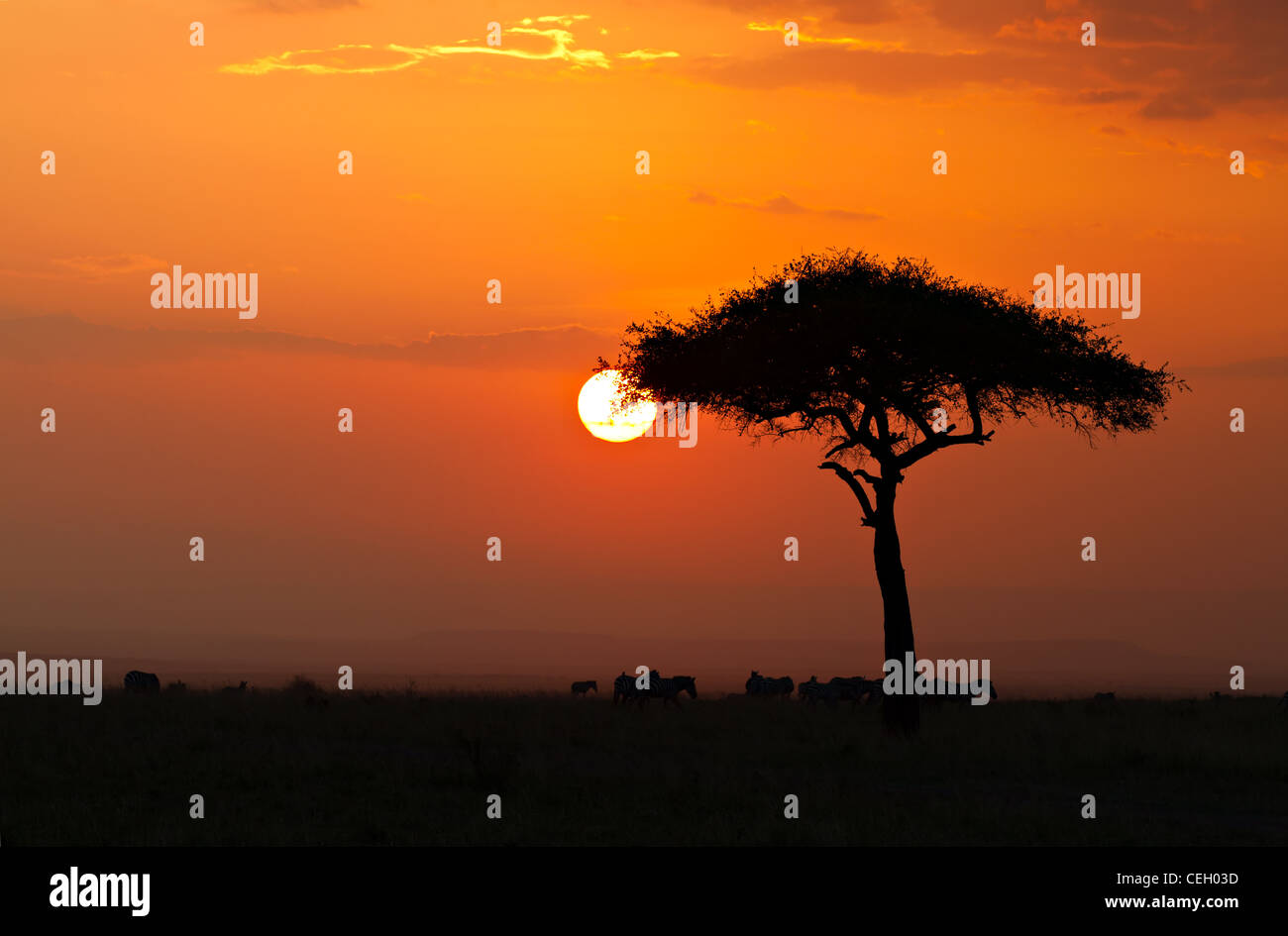 Coucher de soleil dans la réserve nationale de Masai Maria avec Acacia tree et découpages des zèbres, Photo Stock