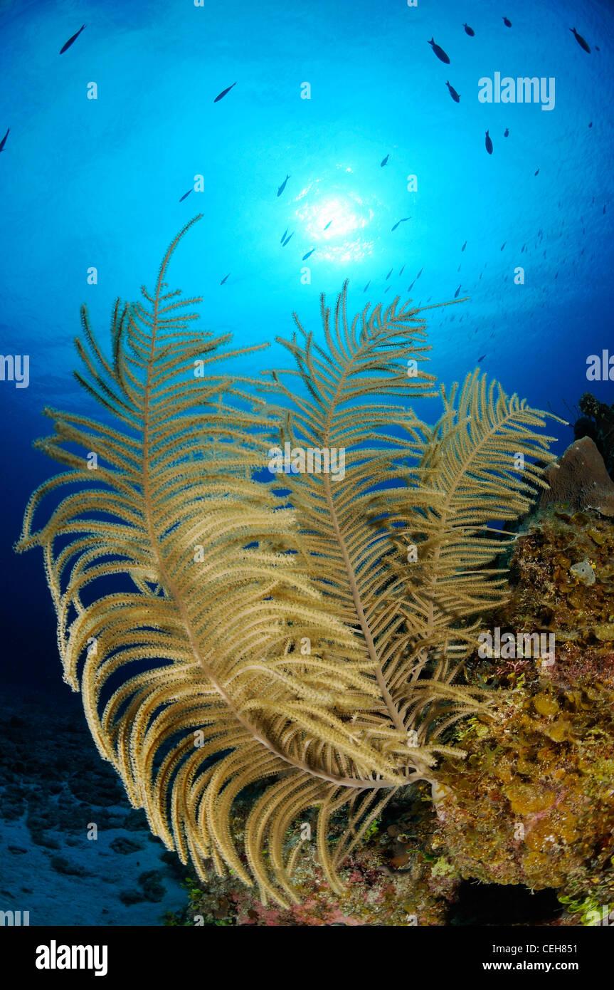 La mer des caraïbes en panache bipennées sur les récifs coralliens, l'île de la jeunesse, Photo Stock