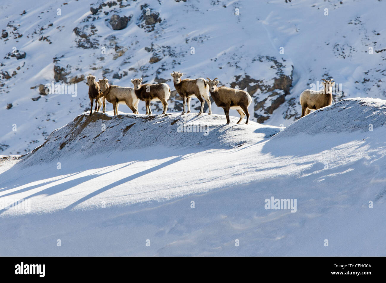 Le mouflon des montagnes, Ovis canadensis, en hiver, Monarch Pass, Colorado, USA Photo Stock