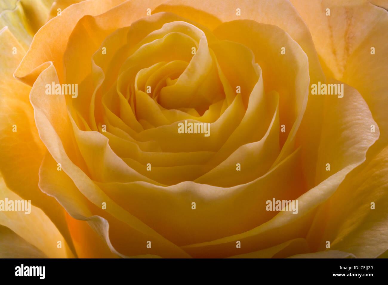 Rose jaune close-up comme fleurs romantique Photo Stock