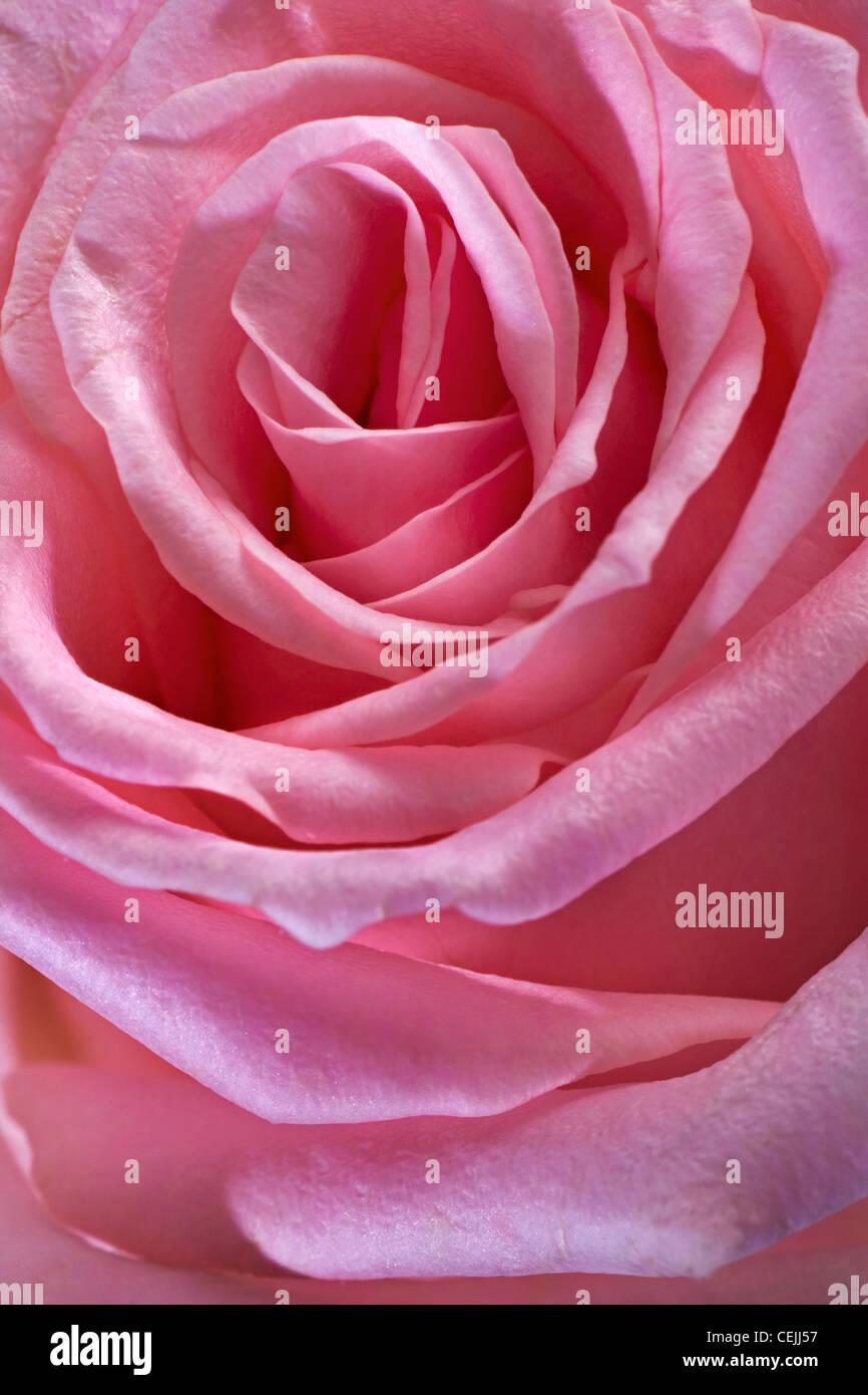 Rose rose close-up comme fleurs romantique Photo Stock