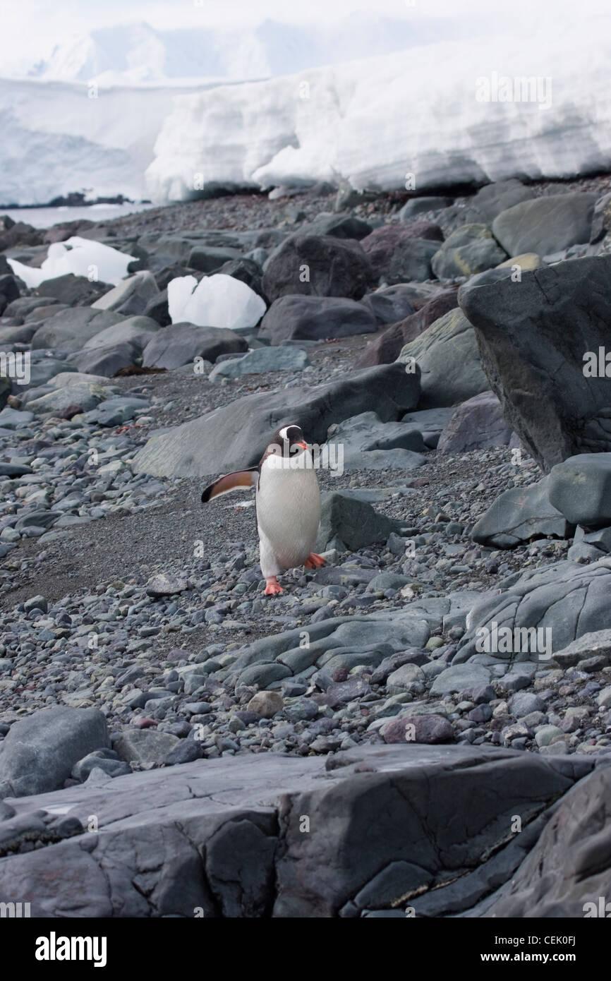Gentoo pingouin marchant sur des roches dans l'Antarctique Banque D'Images