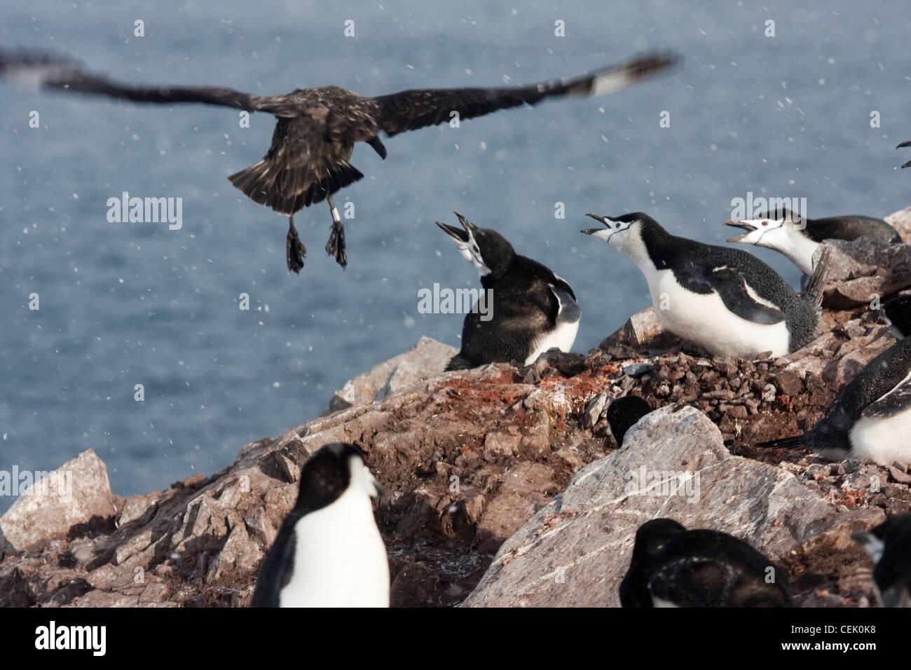 Skua bird flying penguin et attaquant dans son nid sur le bord d'une falaise dans l'Antarctique Banque D'Images