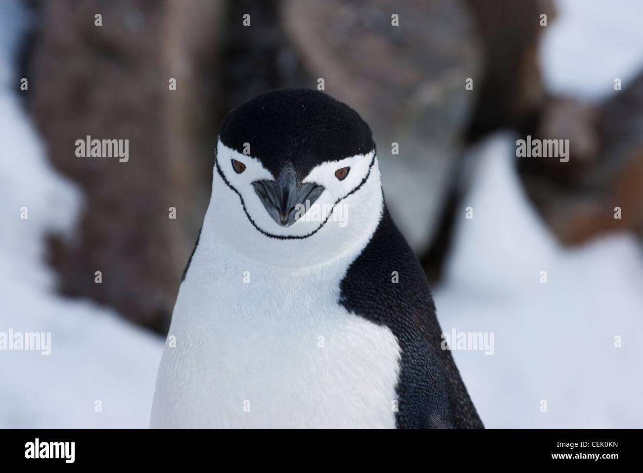 Dans l'Antarctique manchot à jugulaire Banque D'Images