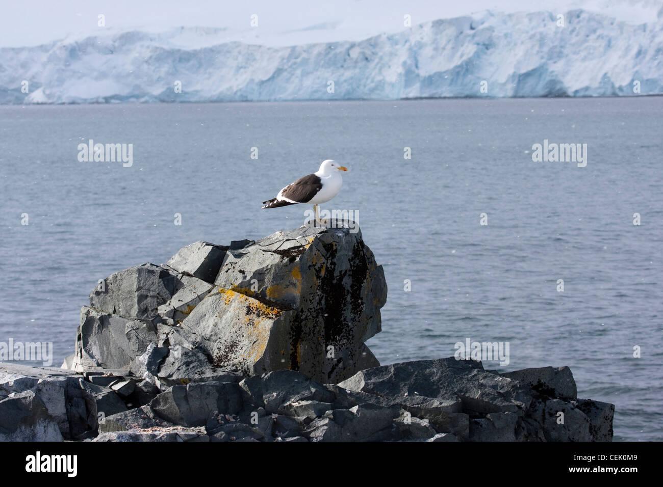 Assis sur Gull rock dans l'Antarctique Banque D'Images