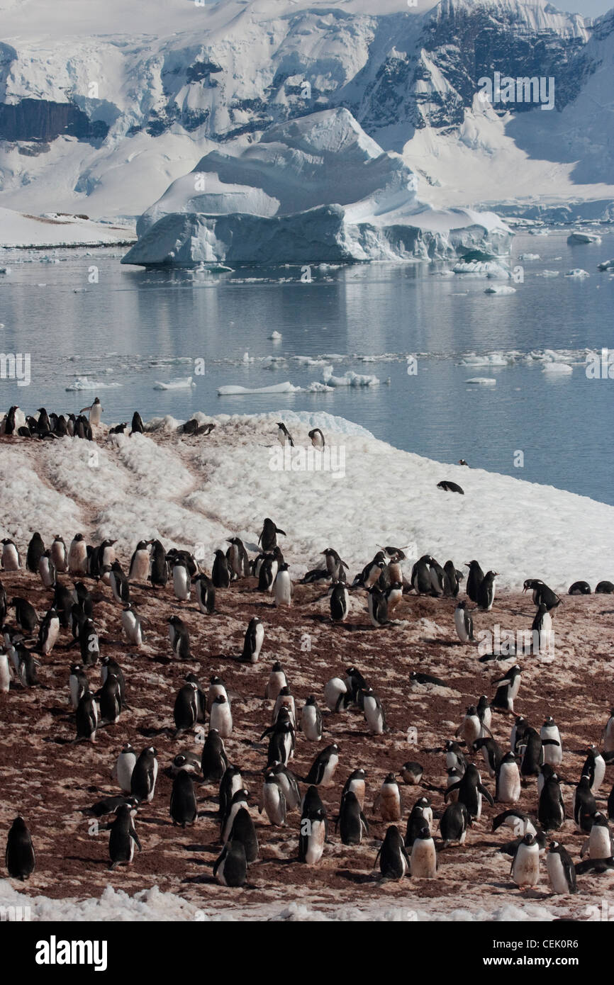 Colonie de pingouins dans l'Antarctique Banque D'Images