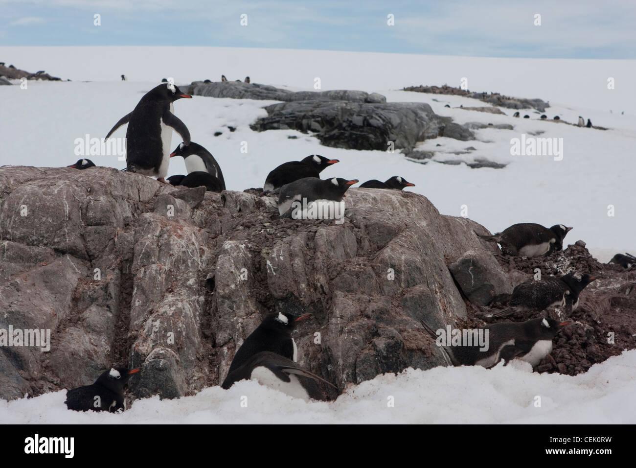 Penguin assis sur un nid dans l'antarctique Banque D'Images