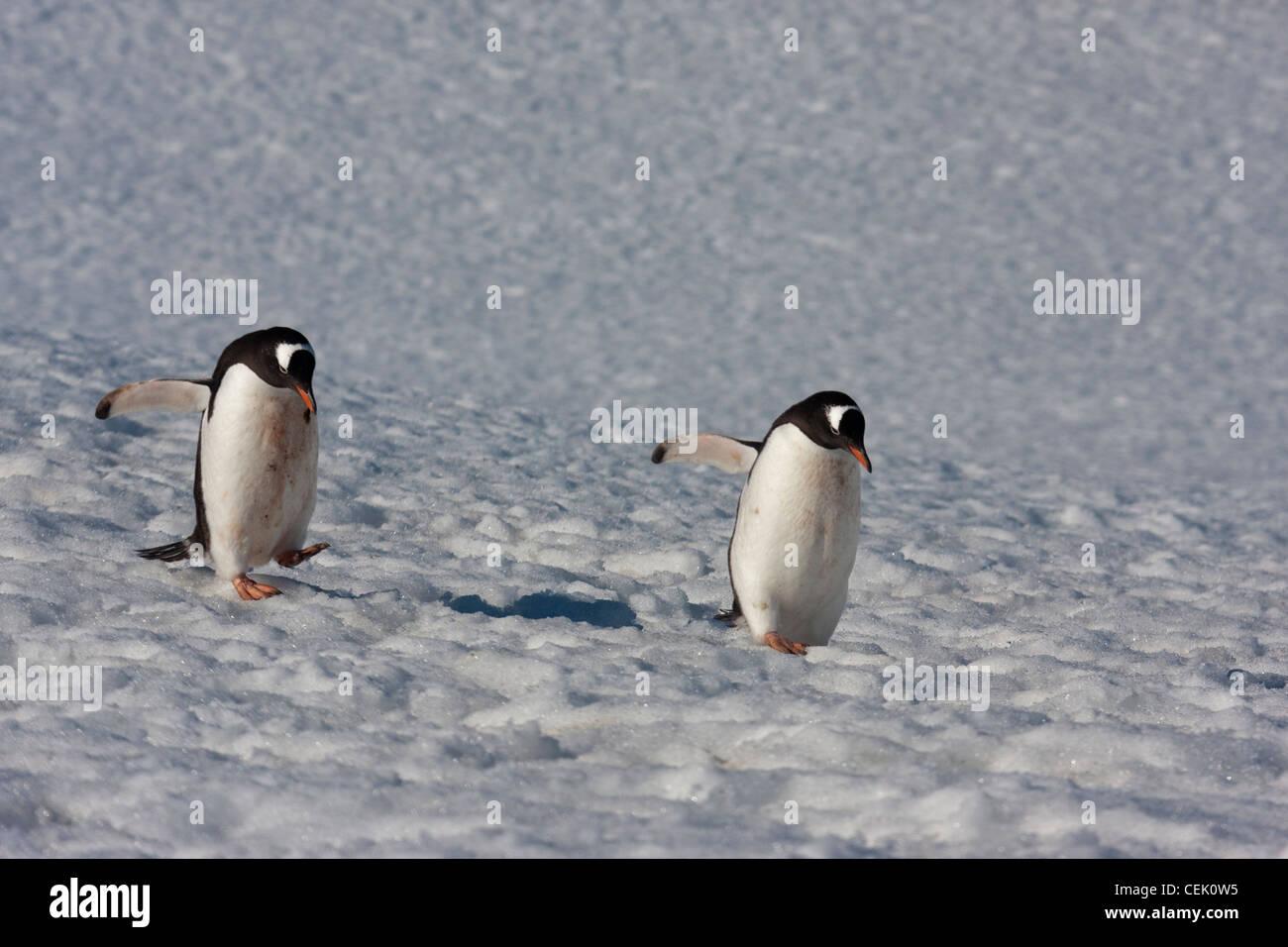 Pingouins marchant à la mer dans l'Antarctique Banque D'Images