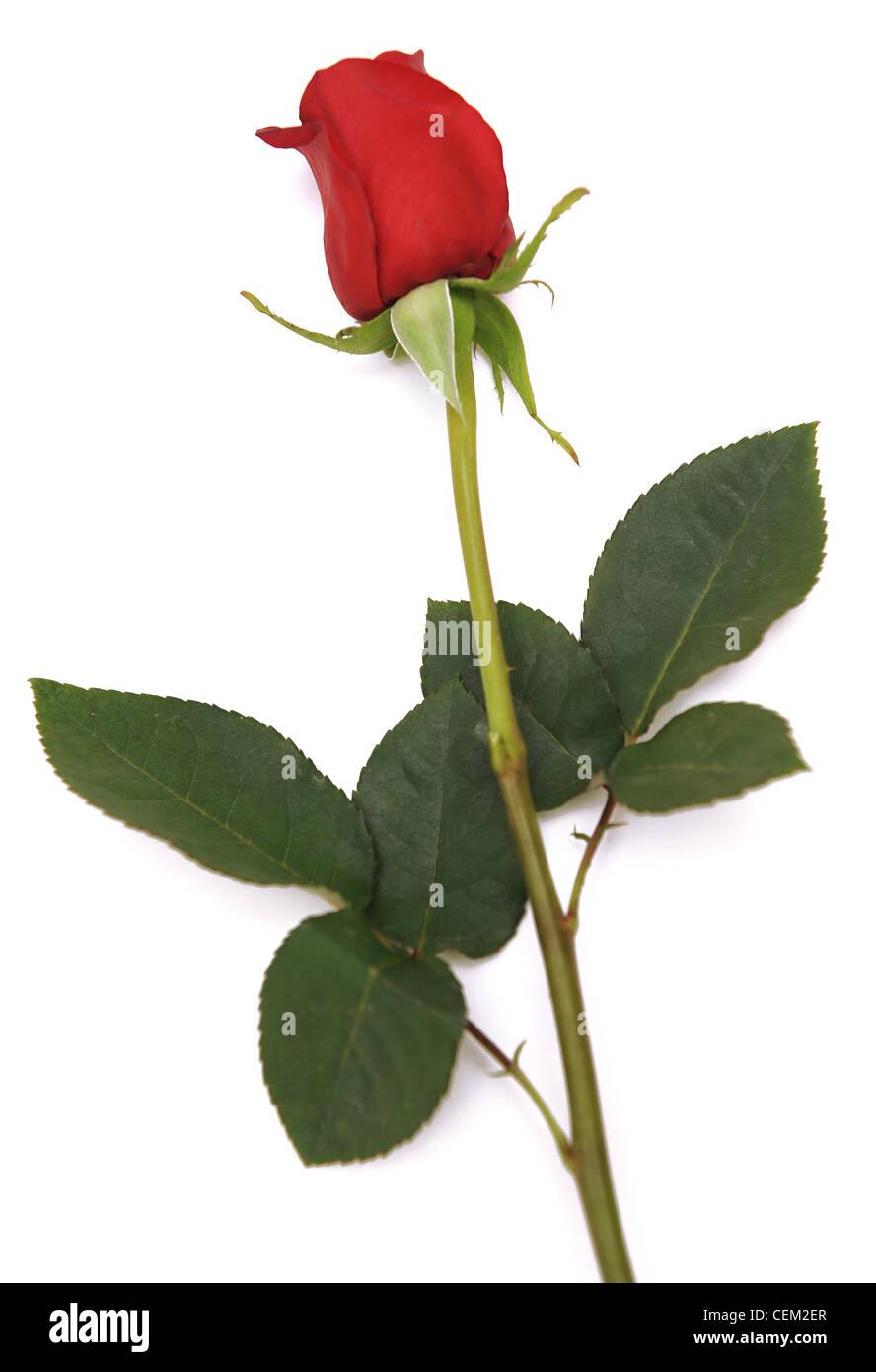 Encore une image de la vie de rose rouge avec une longue - Rose avec tige ...