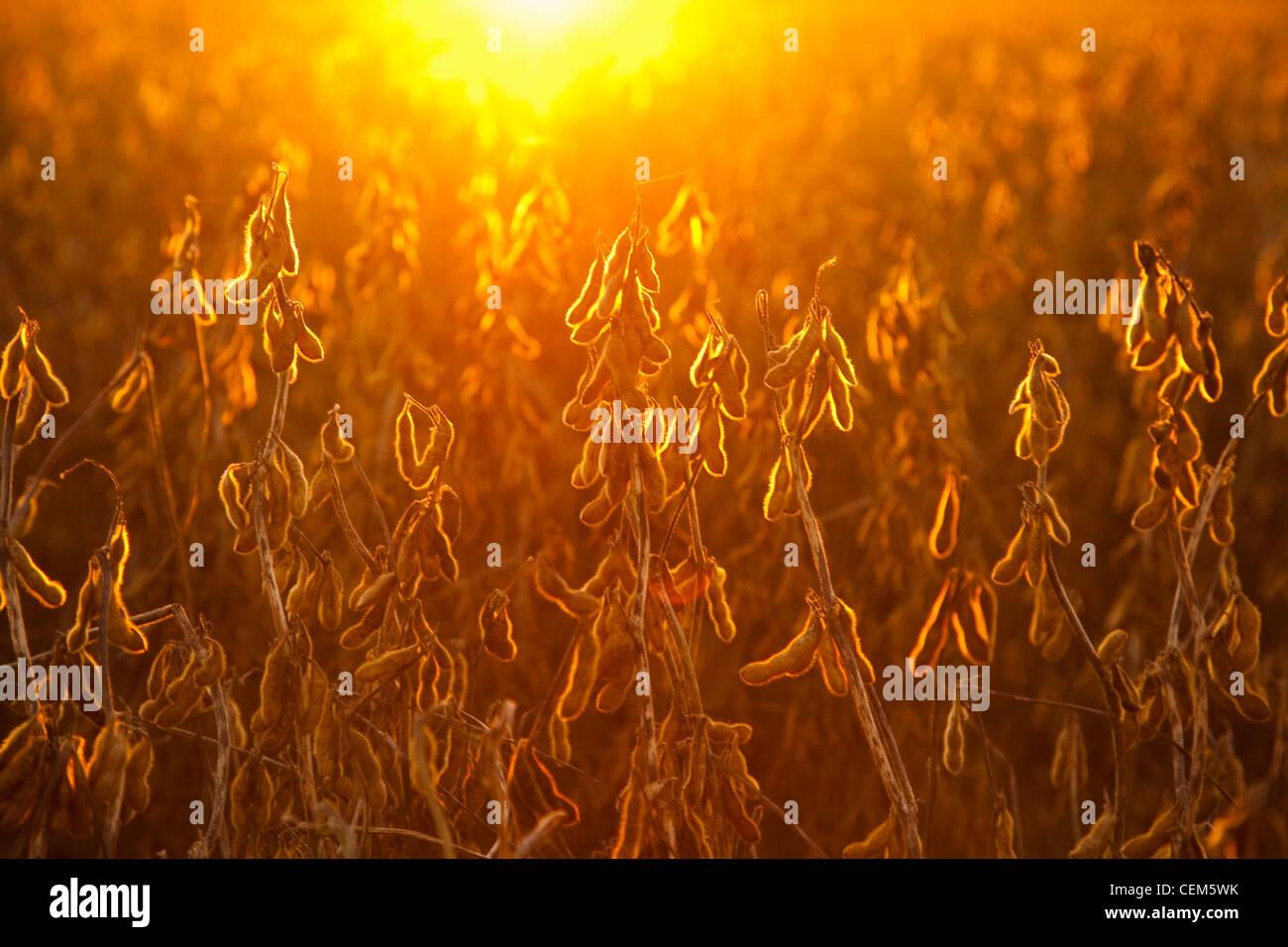 Agriculture - l'étape de la récolte à maturité des gousses de soja sur la plante, rétroéclairé Photo Stock
