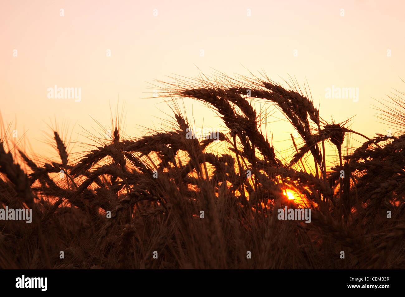Agriculture - l'étape de la récolte à maturité du blé tendre rouge d'hiver à Photo Stock