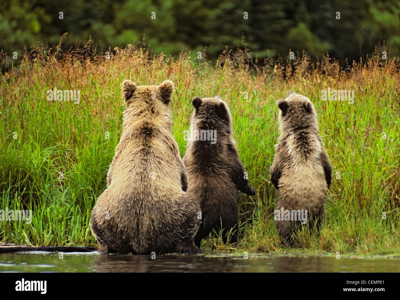 La famille de l'ours grizzli de derrière Photo Stock