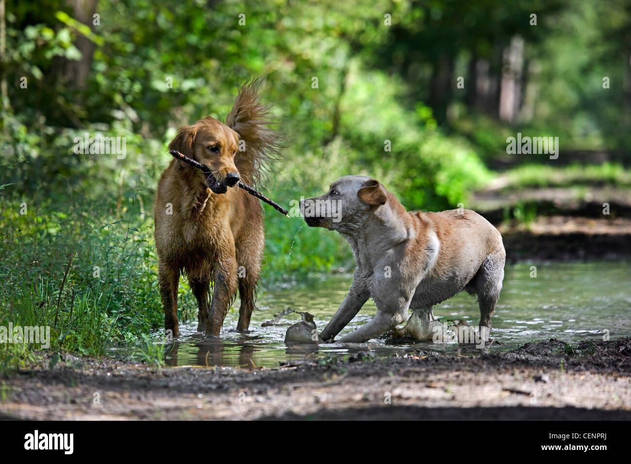 Golden retriever et labrador chiens jouer et courir avec stick par flaque boueuse dans chemin de forêt, Belgique Photo Stock