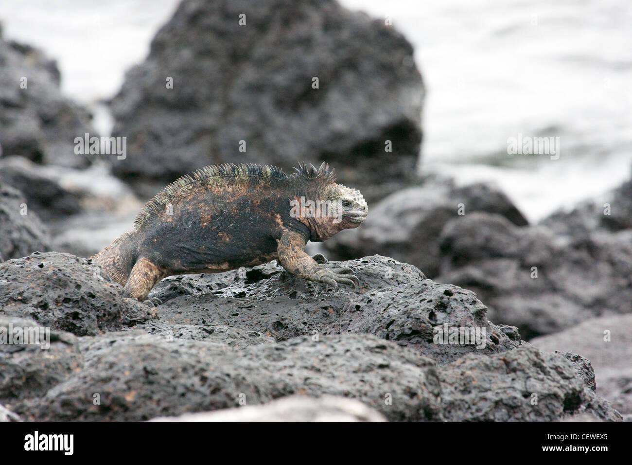 Iguane marin marcher sur les rochers, dans les îles Galápagos Banque D'Images