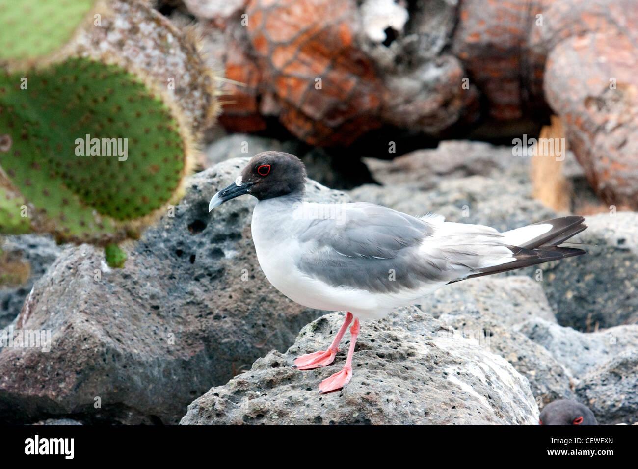 Swallow-tailed Gull assis sur un rocher dans les îles Galapagos Équateur Banque D'Images