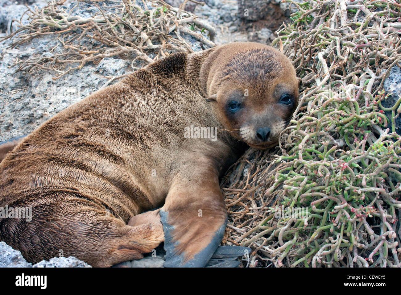 Pup Lion de mer dans les îles Galapagos Banque D'Images