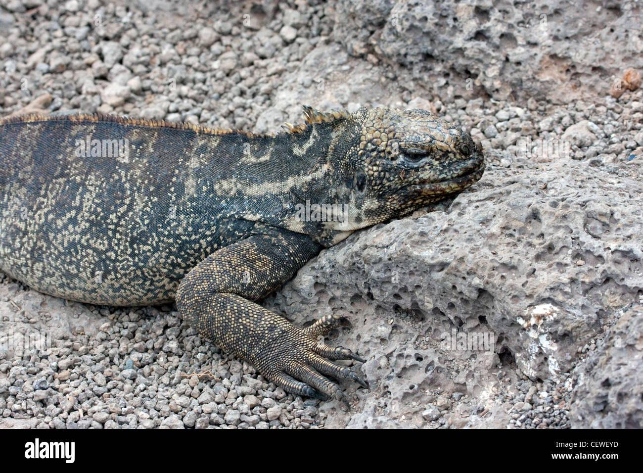 Iguane marin dans les îles Galapagos Banque D'Images